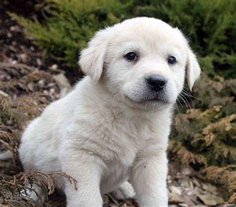 pictures of great pyrenees puppies great pyrenees all big breeds