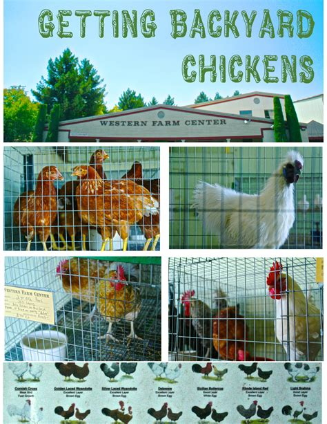 how to care for chickens in your backyard how to take care of backyard chickens 100 how to care for