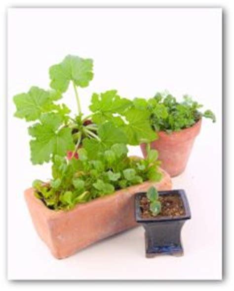 indoor container vegetable garden growing lettuce indoors in a container garden experiment
