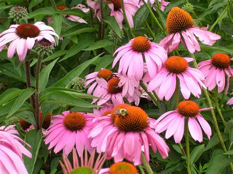 how to grow echinacea growing and caring for echinacea