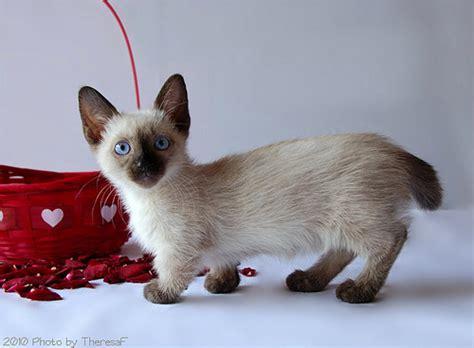 Munchkin cat: short legs as an advantage