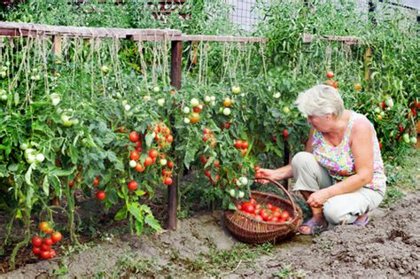 kitchen gardening ideas ten vegetables for kitchen garden of india acegardener
