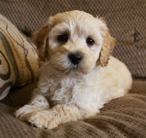 cockapoo puppies illinois apricot maltipoo puppies apricot maltipoo puppies for sale pets world