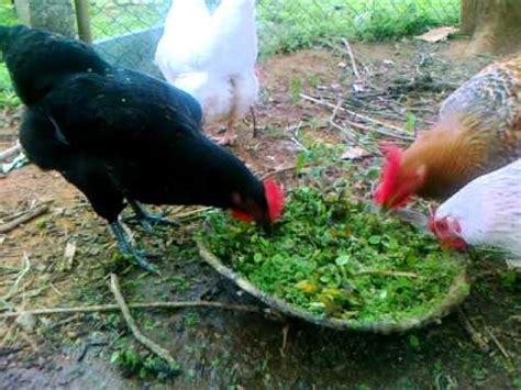 backyard poultry in india organic backyard small poultry