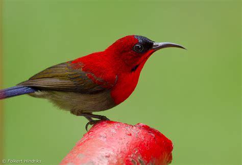 the sunbird the crimson sunbird bird information pictures