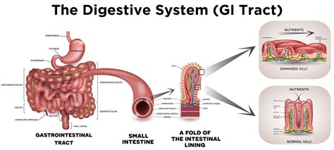 Detox The Digestive System by Organs That Detox Your