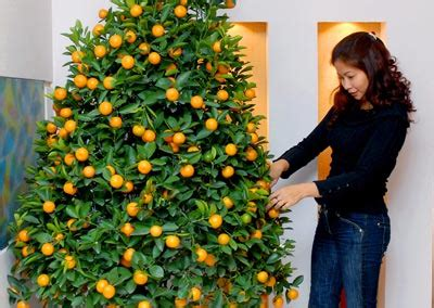 new year kumquat tree flowers used for new year in