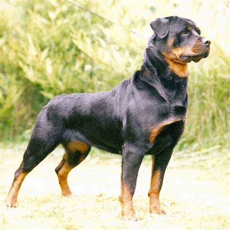 puppy rottweilers dogs world
