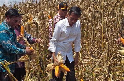 Pakan Ternak Impor Jagung direktur pakan ternak kementan indonesia impor jagung