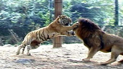is a jaguar faster than a cheetah big vs big cats deadliest fights tiger jaguar cheetah