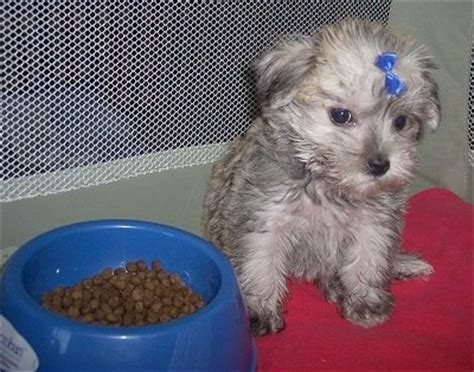 havanese schnauzer schnese breed information and pictures