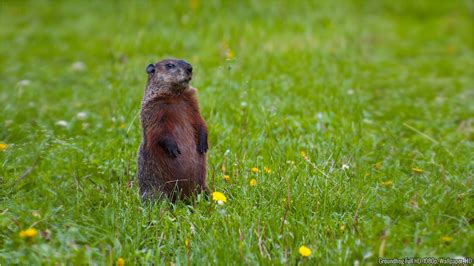 groundhog day hd popcorns groundhog wallpaper wallpapersafari