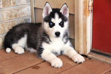 husky puppies for sale oahu two akc registered siberian husky for sale dogs puppies