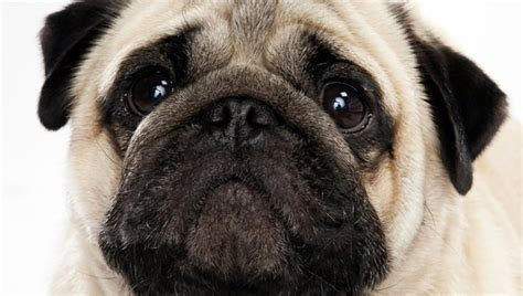 pugs bred for pug breed selector animal planet