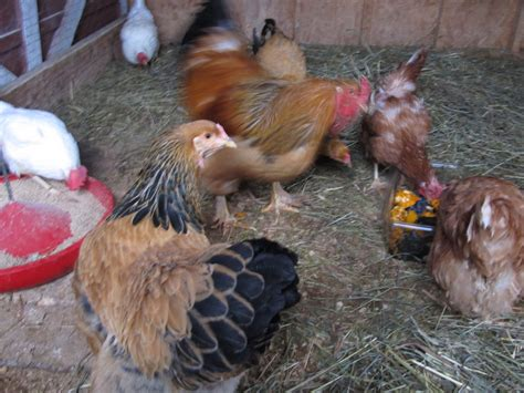 Backyard Chickens Pecking Order Chicken Pecking Order How Where When And Why Backyard