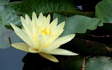 lotus flower seed blue lotus flower seed water seeds for growing buy