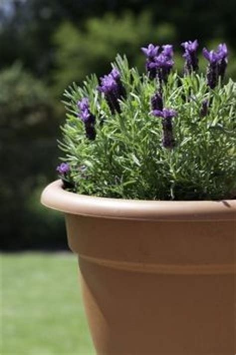 growing lavender in containers great site lots of info lavender pinterest growing