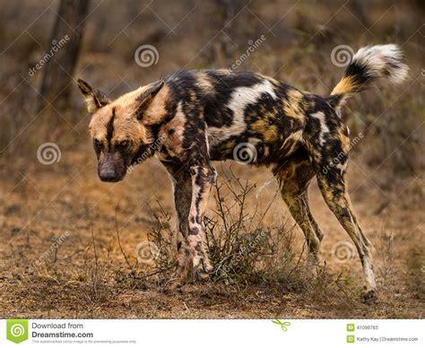 wild dog marking territory stock photo image
