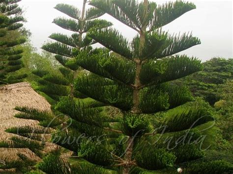 araucaria columnaris christmas tree