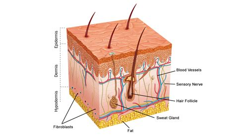 diagram of the skin do collagen work the science rejuvenated
