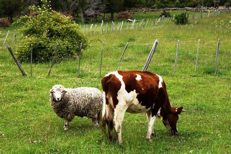 google imagenes vacas panoramio photo of peque 241 a la vaca o grande la oveja