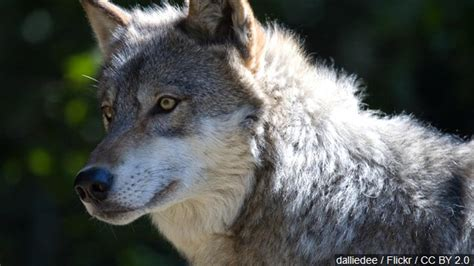 management plan oregon wolf population continues  grow