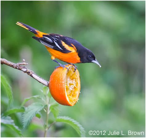 baltimore oriole adult male eating an orange 2 3 animal
