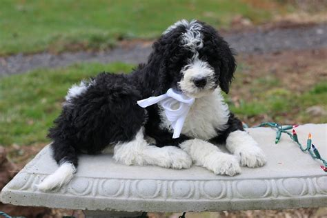 parti poodle lifespan parti poodle goldendoodle photo