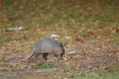 Tattoo Animal In Trinidad | photograph and information on the armadillo in trinidad
