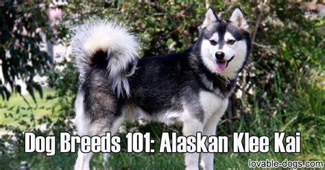 alaskan husky puppies for sale near me dogs 101 alaskan husky breed dogs spinningpetsyarn