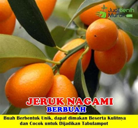 Bibit Jeruk Nagami bibit jeruk nagami berbuah jualbenihmurah