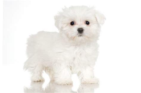 maltese don t how to whiten a maltese pets