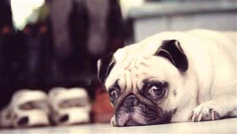 pug encephalitis treating and managing pug encephalitis petcarerx