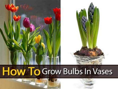 grow bulbs  vases