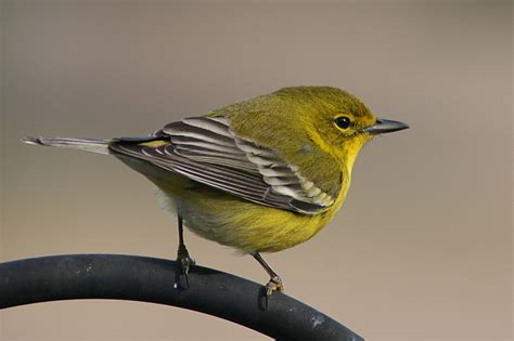 watch for these winter migrants at your bird feeder