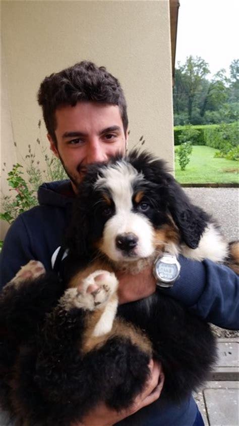 alimentazione bovaro bernese cucciolo foto gallery allevamento bovaro bernese vendita cuccioli