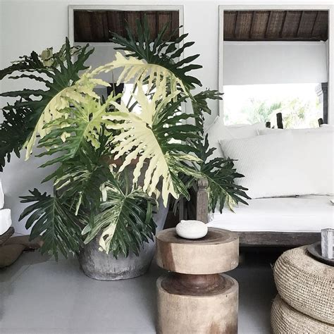 thaumatophyllum bipinnatifidum variegata