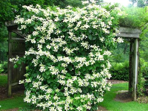 best climbing vines for pergolas pergola climbing plants nature s roof