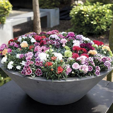 Plants For Patio Pots by Carnation Sunflor Series Patio Pot Collection From Mr