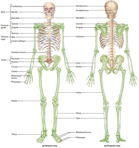 A Of Bones images human skeletal system impremedia net