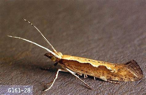 radish seed diamondback moth pacific northwest pest