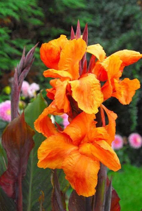Full Sun Container Garden Ideas - canna wyoming canna lily