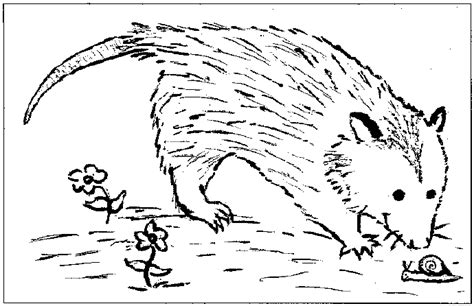 opossum free colouring pages