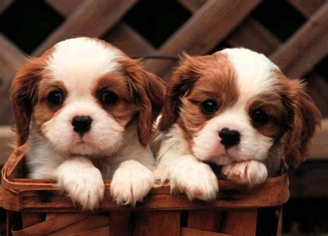 king charles cavalier puppies cavalier king charles spaniel puppies doglers