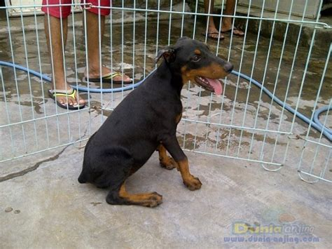 Potong Ekor Anjing Dunia Anjing Jual Anjing Doberman Pinscher Doberman