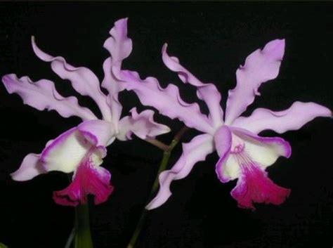 come curare orchidea in vaso come coltivare le orchidee in casa phalaenopsis orchidee
