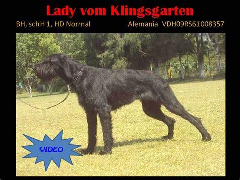 lada de guerrero klinsgarten guerreros negros schnauzer