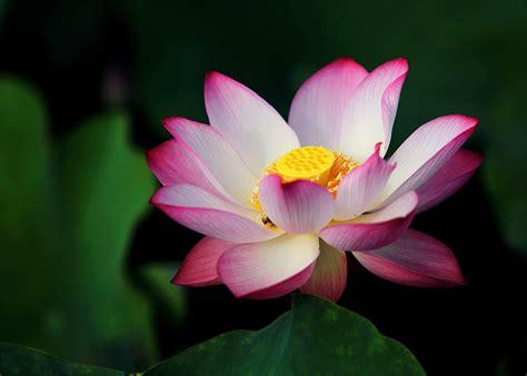 50 relaxing lotus images 183 pexels 183 free stock photos