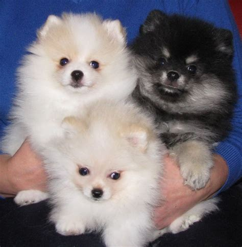 pomeranian rescue md teacup pomeranian puppies rescue breeds picture