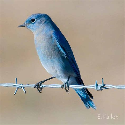 mountain bluebird migration to san diego county
